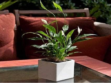 Plantas de interior que te ayudaran a purificar el aire de for Plantas de interior limpian aire