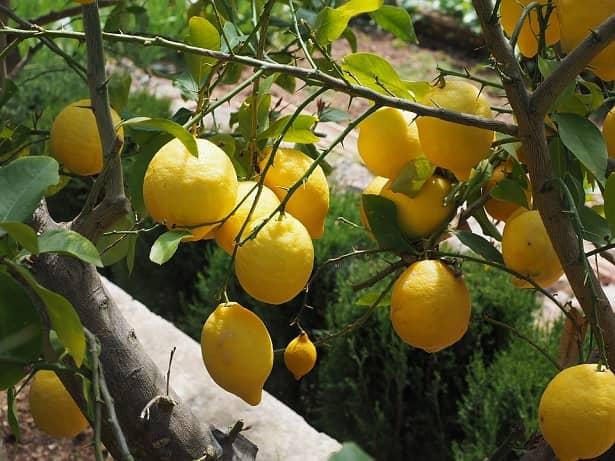 Como sembrar una planta de limon beliefnet for Pasos para sembrar una planta