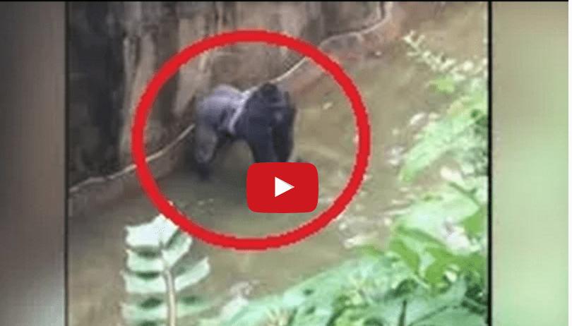Aterrorizante video cuando un bebe cae a La jaula de gorila