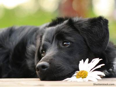 animal black dog flower sad