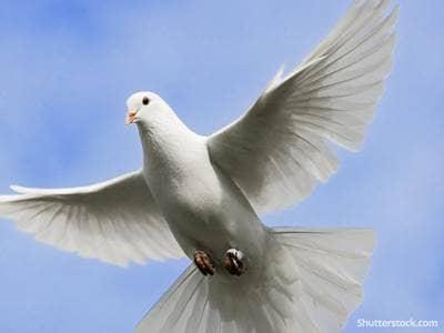 animal dove peace faith sky