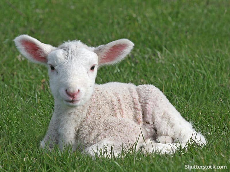 animal lamb on grass easter
