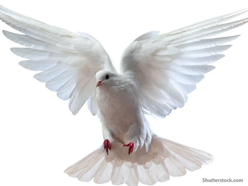 animals dove2