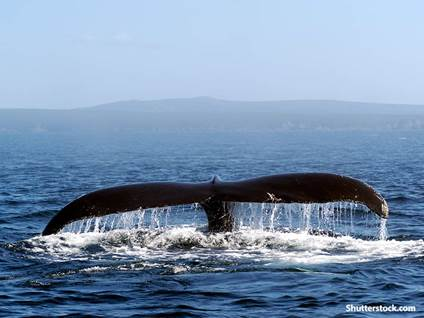 animals whale tail