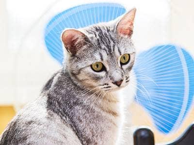 cat with fan