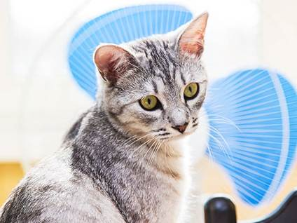cat with fan
