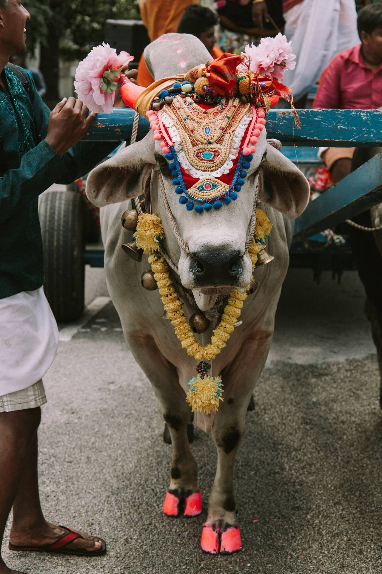 Why Is the Cow Important to Hindus? | The Importance of the Cow in