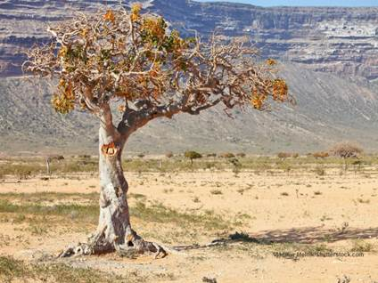 Myrr tree Vladimir Melnik