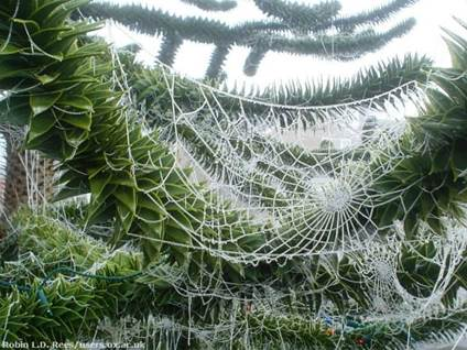 Spiderweb on Christmas Tree