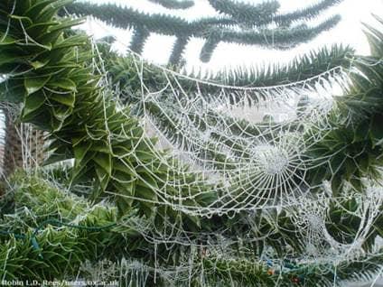 Spiderweb on Christmas Tree