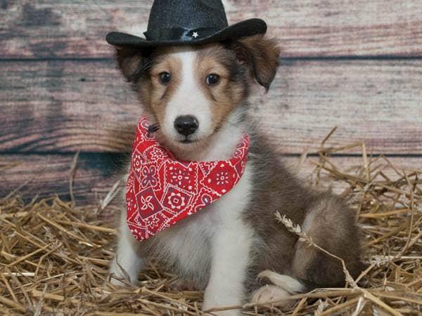 puppy cowboy