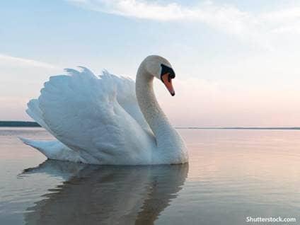 animals swan