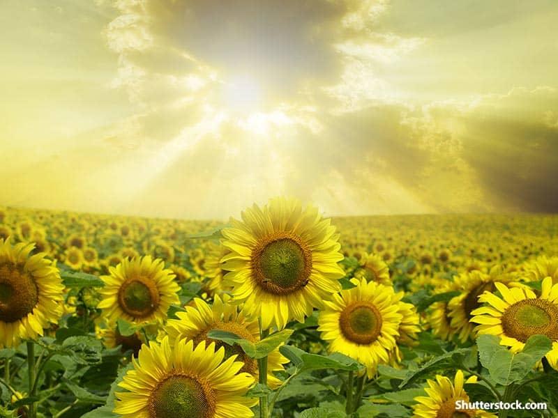 nature sunflowers