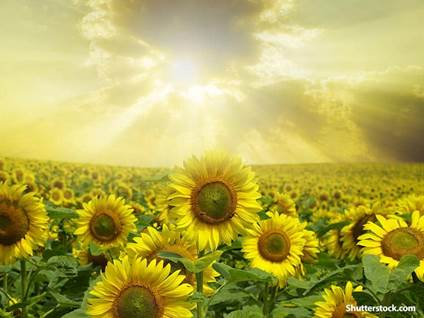 nature sunflowers