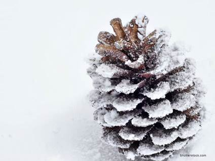 Pinecone Snow