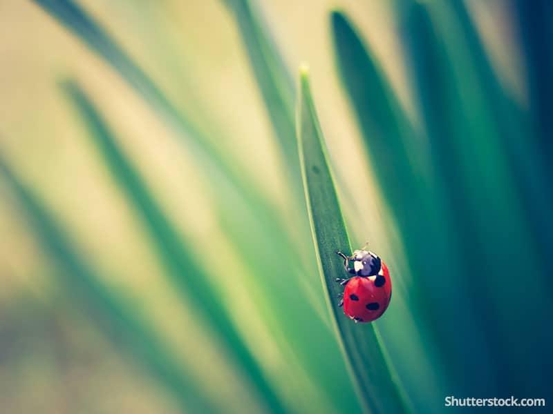 nature-ladybug-grass