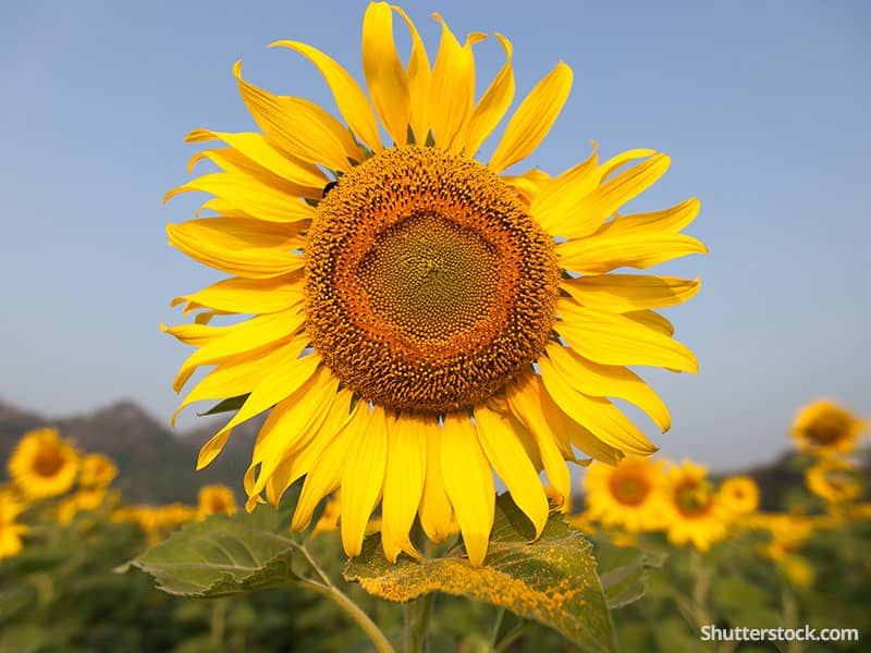 nature-sunflower-big