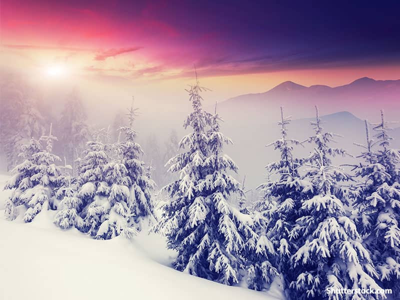 nature winter pine trees