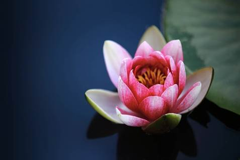 6 flowers that are linked with faiths 6 flowers associated with lotus blossom mightylinksfo