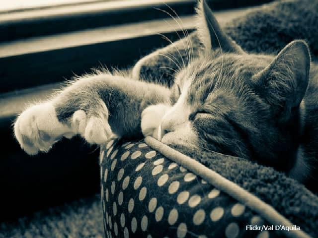 lazy cat   flickr1