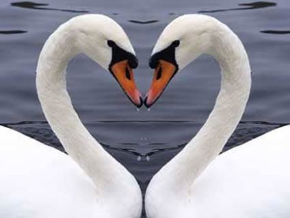 Swans Forming Heart