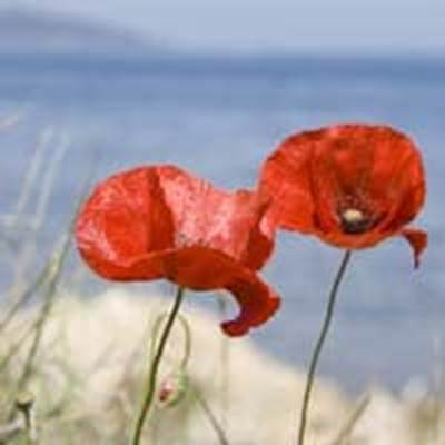 Two red poppies