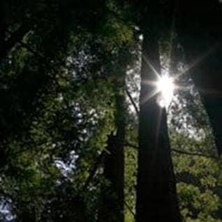 Sun shining down through redwood trees