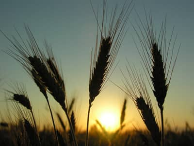 Lammas, Wheat, Sunset, Lughnassad