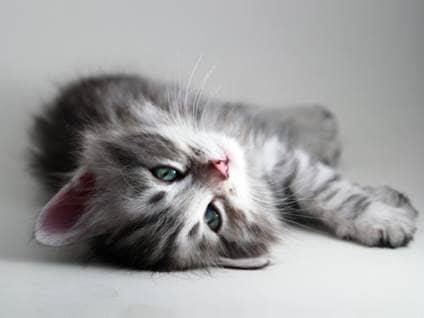 Kitten lying down