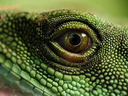 Reptile eye