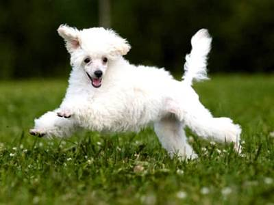 White dog running in a field