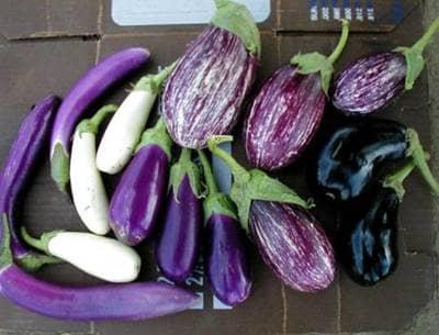 eggplants cover