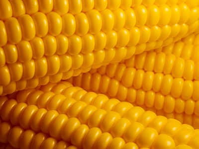 Three corn cobs with bright yellow kernels