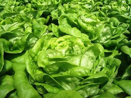 Field of Spinach heads