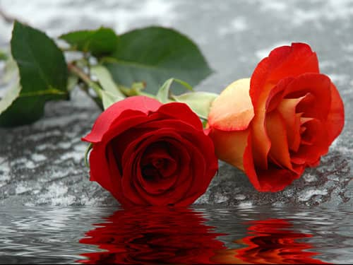 Roses on ice