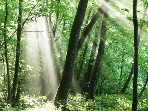 Rays of forest light