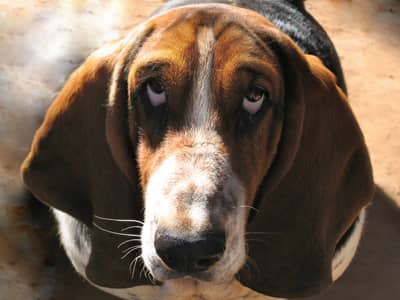 Droopy-eyed dog