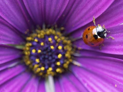 Ladybug near the center of a violet purple flower