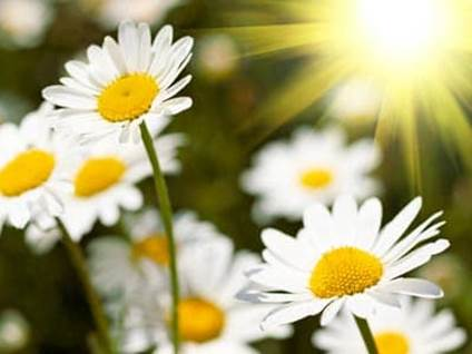 Field of White Camomile Flowers and the Sun