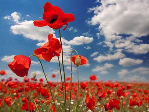 Poppies in a poppy field.