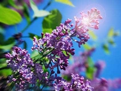 Purple lilcs