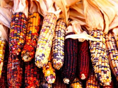 Celebrate Kwanzaa Indian corn