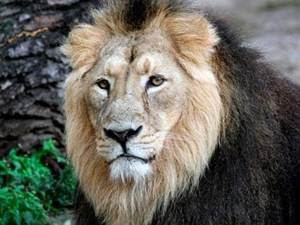 Leo, the Lion