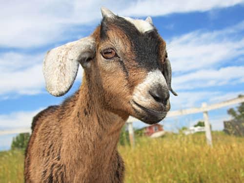 Capricorn, the Goat