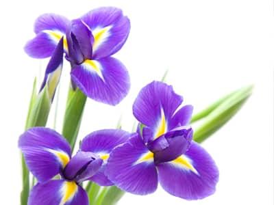 Flower names flower meanings and inspiration inspiring flowers iris mightylinksfo