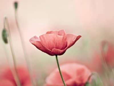 Flower names flower meanings and inspiration inspiring flowers look at these beautiful flowers and let their meanings encourage and inspire you poppy mightylinksfo Image collections