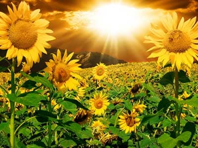 Sunflowers with a fantasy sky.