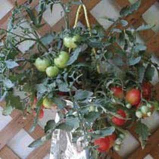 Tomato Kit
