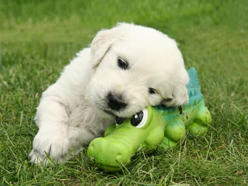 Adorable Puppy with Toy