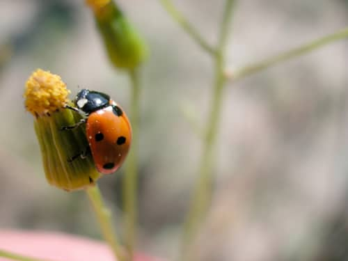 Lady Bug on flower